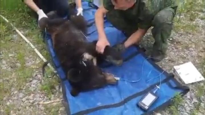 В Приморье истощенный медвежонок вышел к российской погранзаставе