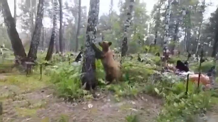 Прогулки закончились: медведей-соседей у Назарова ликвидируют