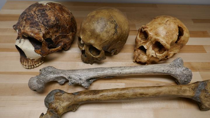 Черепа и бедренные кости представителей рода Homo. Сотни тысяч лет эволюции привели к увеличению размеров не только черепа, но и всего тела человека.
