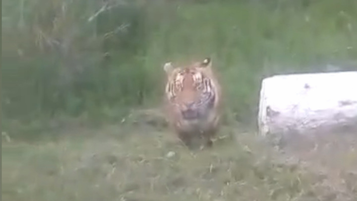 В Приморье тигр облюбовал обочину на трассе