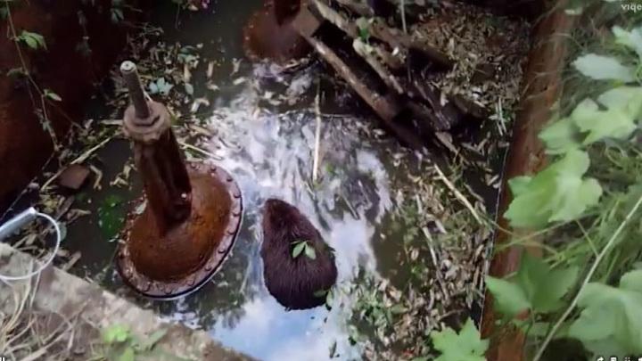 Водный плен: бобров, попавших в ловушку, спасли на Урале