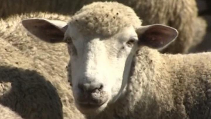 Ставропольский край стал лидером по производству овечьей шерсти