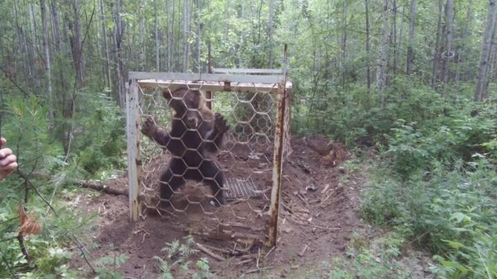 Медведя из браконьерской клетки освободили в Иркутской области