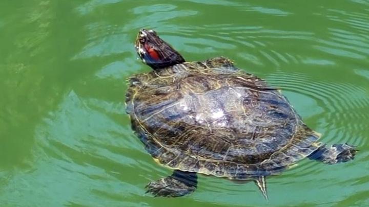 На Ставрополье объявлена фотоохота на метровую черепаху