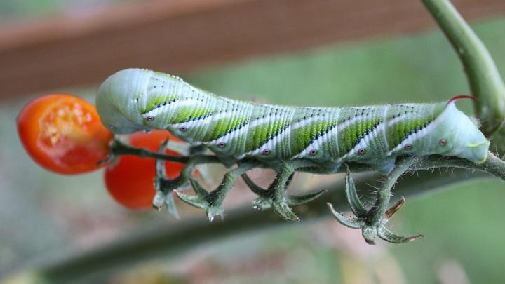 Плоды томатов могут делиться с остальными частями растения важной информацией, к примеру, об атаках гусениц.