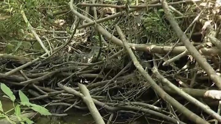 Пакостные вредители: в Татарстане наказали разрушителей плотин бобров