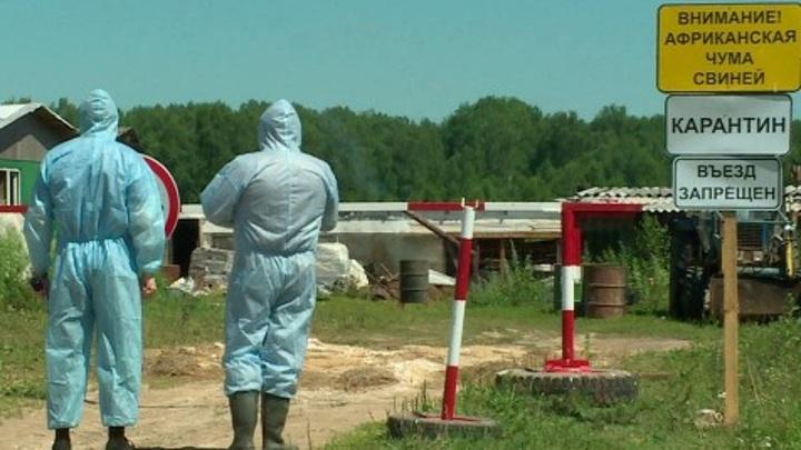12 очагов африканской чумы свиней зафиксировали в Калужской области