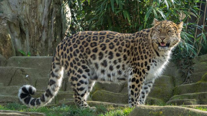 Ученые отметили стабильность популяции дальневосточных леопардов