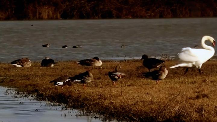 Томский суд встал на защиту краснокнижных гусей и закрыл три сайта