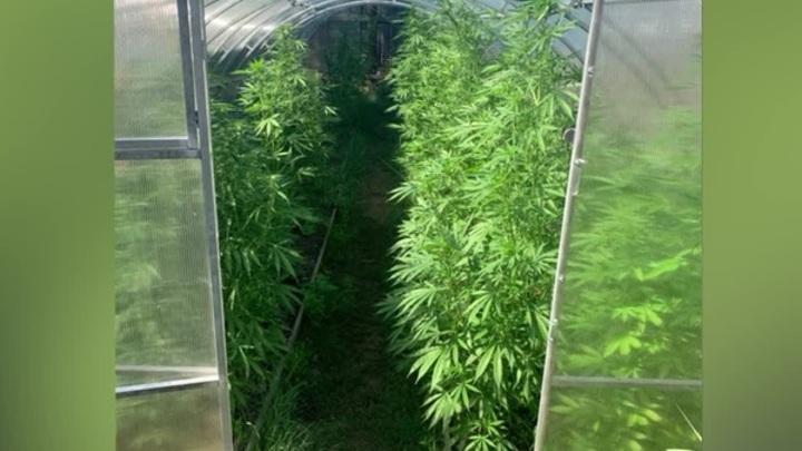 6 теплиц для каннабиса: В Рязанской области накрыли подпольную плантацию марихуаны