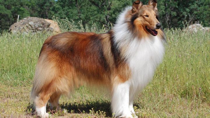 """Окрас шотландской овчарки колли – это """"затемненный рыжий"""". Один из пяти окрасов шерсти домашних собак."""
