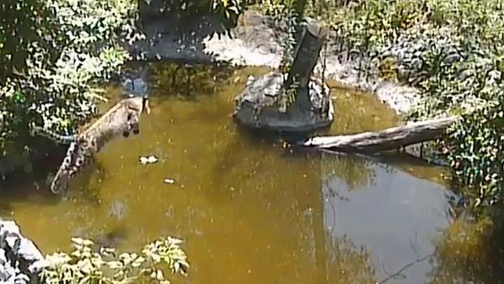 Сочинский нацпарк опубликовал видео охоты леопарда на нутрию