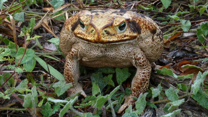 Даже личинки жабы-аги ядовиты, и в Австралии у этих амфибий нет конкурентов в смертоносности. Кроме них самих.