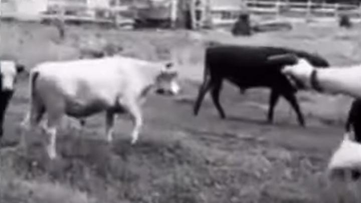 Стрельба по коровам и резонанс в сети: прокуратура проверяет действия новосибирца
