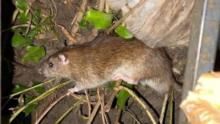 В Воронеже огромные крысы свили гнездо на дереве