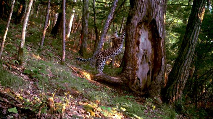 Леопард-гимнаст покрасовался перед камерой в приморском заповеднике