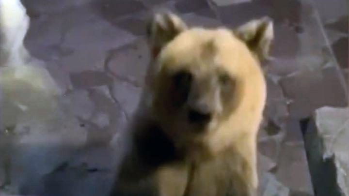 В Башкирии медвежонок постучался в окно ресторана