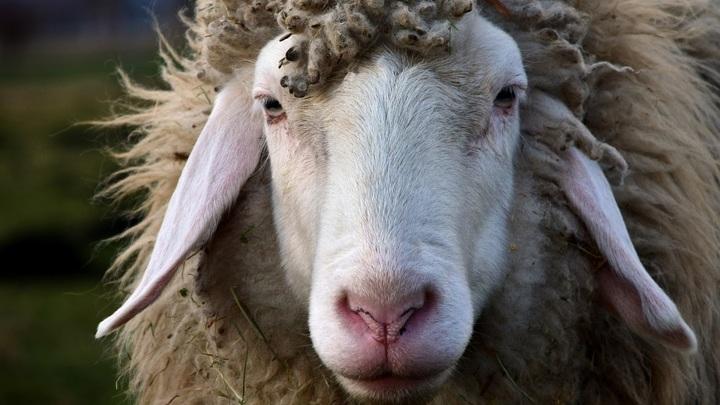 Житель Украины хотел провести через российскую границу стадо овец