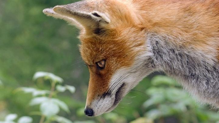 Это фиаско: лиса пыталась утащить кормушку бобров, но ничего не вышло