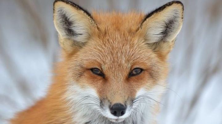 В Тверской области обнаружили бешеную лису