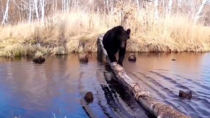 """""""Плюхнулся в воду"""": неуклюжий медведь попал на видео в Амурской области"""