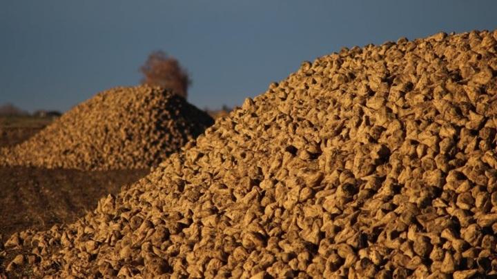 В Тамбовской области собрали уже более 2 миллионов тонн сахарной свеклы
