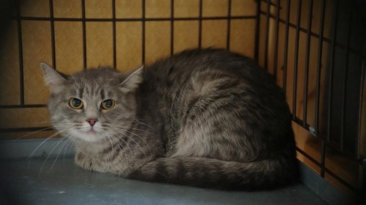 Спасенная из капкана: в Новосибирске ищут семью трехлапой кошке