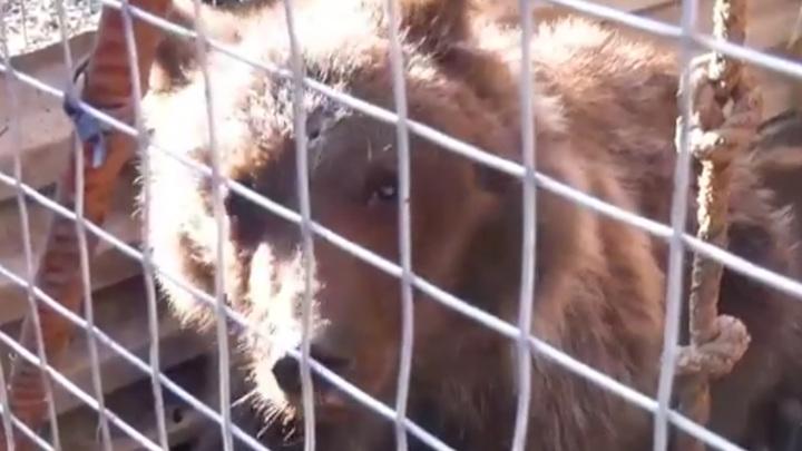 Осетинские полицейские спасли медвежонка и взяли над ним шефство