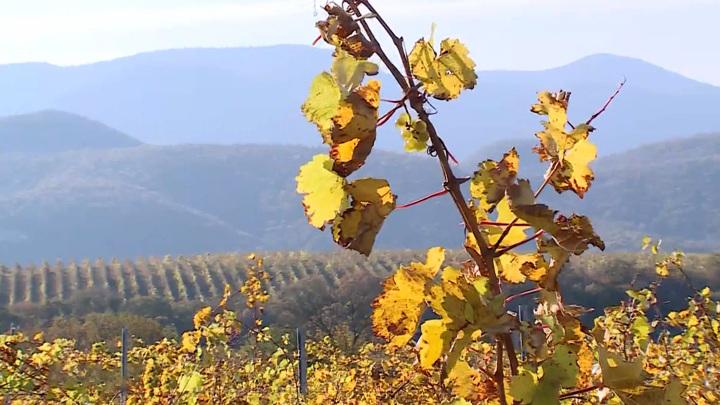 В Абрау-Дюрсо собрались виноделы: Россия открывает свою винную карту