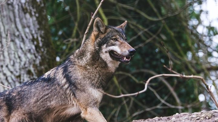 В Вологодской области отбили собаку у голодного волка