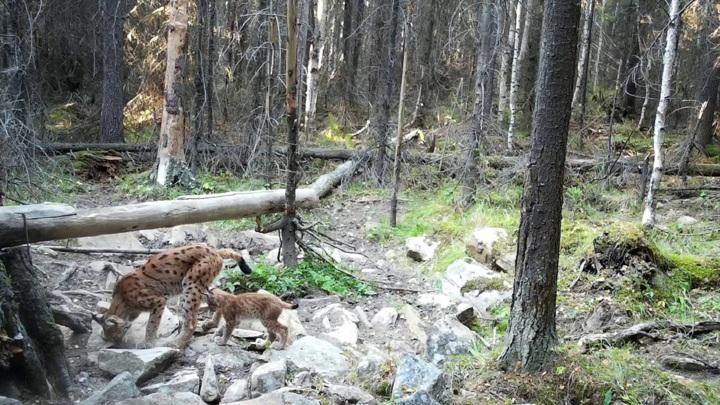 Мама-рысь на Южном Урале дала малышу урок охоты